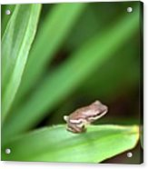 Tiny Tree Frog 01110 Acrylic Print