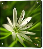 Tiny White Flower Acrylic Print