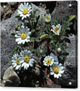 Tiny White Flowers In The Gravel Acrylic Print