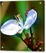 Tiny White Wildflower In Vicente Perez Rosales National Park Near Puerto Montt-chile  Acrylic Print
