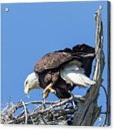 Tip Toeing Across Nest Acrylic Print