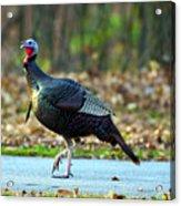 Tiptoe Turkey Trot Acrylic Print