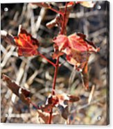Tired Leaves Acrylic Print