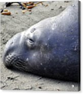 Tired Seal Acrylic Print