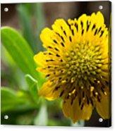 Tithonia Diversifolia Acrylic Print by Michael Tesar