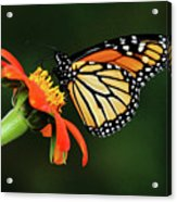Tithonia Loving Monarch Acrylic Print