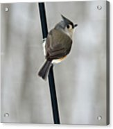 Titmouse In A Snowstorm Acrylic Print
