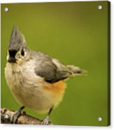 Titmouse Ready To Jump And Fly Acrylic Print
