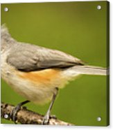 Titmouse With Bad Hairdo 3 Acrylic Print