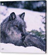 T.kitchin, 19552c Gray Wolf, Winter Acrylic Print