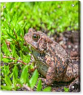 Toad In The Grass Acrylic Print