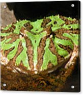 Toad With Green Stripes Acrylic Print