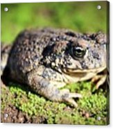 Toad You So Acrylic Print