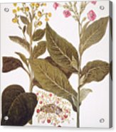 Tobacco Rustica, 1613 Acrylic Print