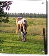 Tobiano Horse In Field Acrylic Print