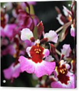 Tolumnia Pink Panther Orchid Acrylic Print