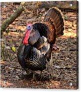 Tom The Turkey Acrylic Print