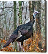 Tom Turkey Early Moning 1 Acrylic Print