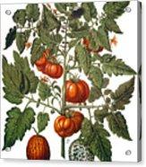 Tomato & Watermelon 1613 Acrylic Print