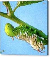 Tomato Hornworm Acrylic Print