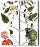 Tomato Plant, 1735 Acrylic Print