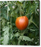 Tomato Plants In A Nebraska Garden Acrylic Print