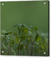 Tomato seedlings in the morning Acrylic Print
