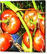 Tomatoes Hanging Like Grapes From Vines Go1 3711a3 Acrylic Print