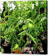 Tomatoes On The Vine Acrylic Print