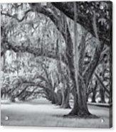 Tomotley Plantation Oaks Acrylic Print