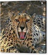 Tongue And Cheek Cheetah Acrylic Print