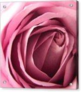 Toni's Rose  Acrylic Print