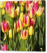 Too Many Tulips Acrylic Print by Jeff Kolker