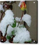 Too Soon Winter - Yellow Rose Acrylic Print