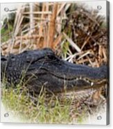 Alligator Toothy Grin 2 Acrylic Print
