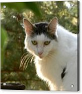 Top Cat Of The Ranch Acrylic Print
