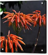 Top Of Aloe Vera Acrylic Print