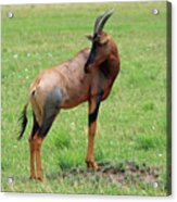 Topi Antelope - Masai Mara - Kenya Acrylic Print
