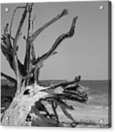 Toppled Tree Acrylic Print