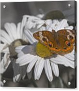 Topsail Butterfly Acrylic Print