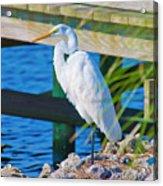Topsail Egret Acrylic Print