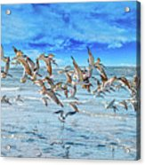 Topsail Skimmers Acrylic Print