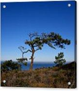 Torrey Pines Tree Acrylic Print