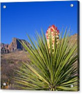 Torrey Yucca Acrylic Print