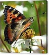 Tortoise Butterfly Acrylic Print