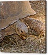 Tortoise Eating Lunch In Living Desert Zoo And Gardens In Palm Desert-california  Acrylic Print