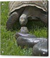 Tortoise Kissing An Anaconda Acrylic Print