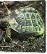 Tortoise Photobomb Acrylic Print