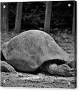 Tortoise Relaxing Acrylic Print