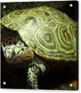 Turtle With A Tale To Tell Acrylic Print